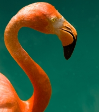 flamingo-posed
